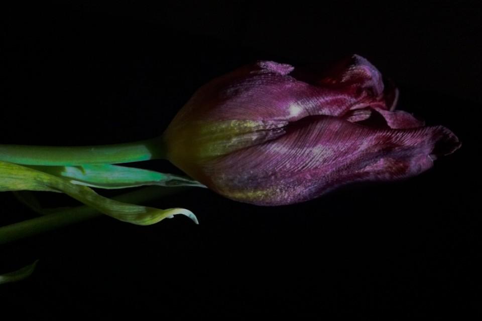 Hipstamatic, Januar Tulpen